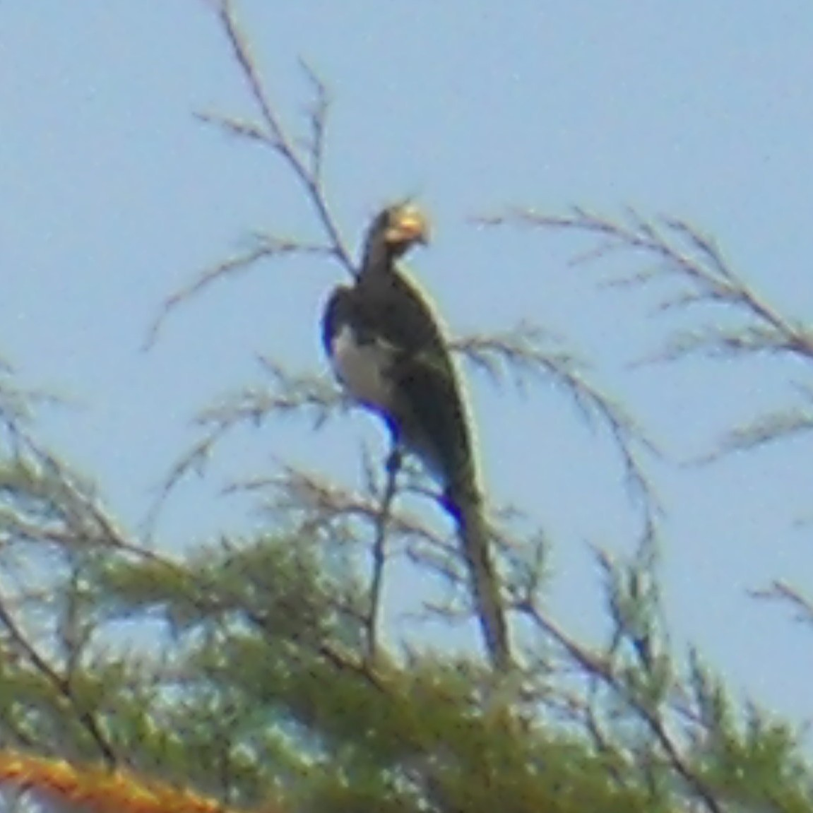 African Pied Hornbill by C. Vadai