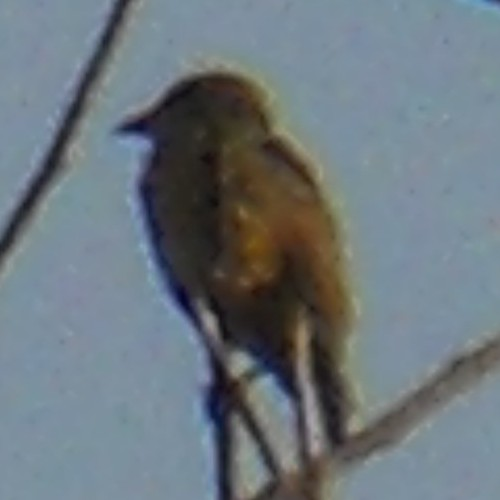 Little Greenbul