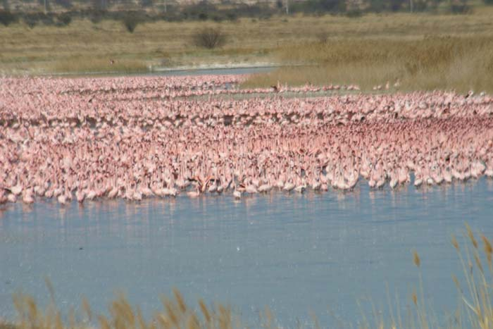 Lesser Flamingos displaying - Kimberley