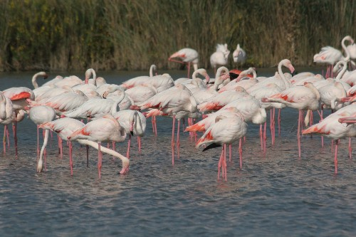 Greater Flamingo by C. Vadai
