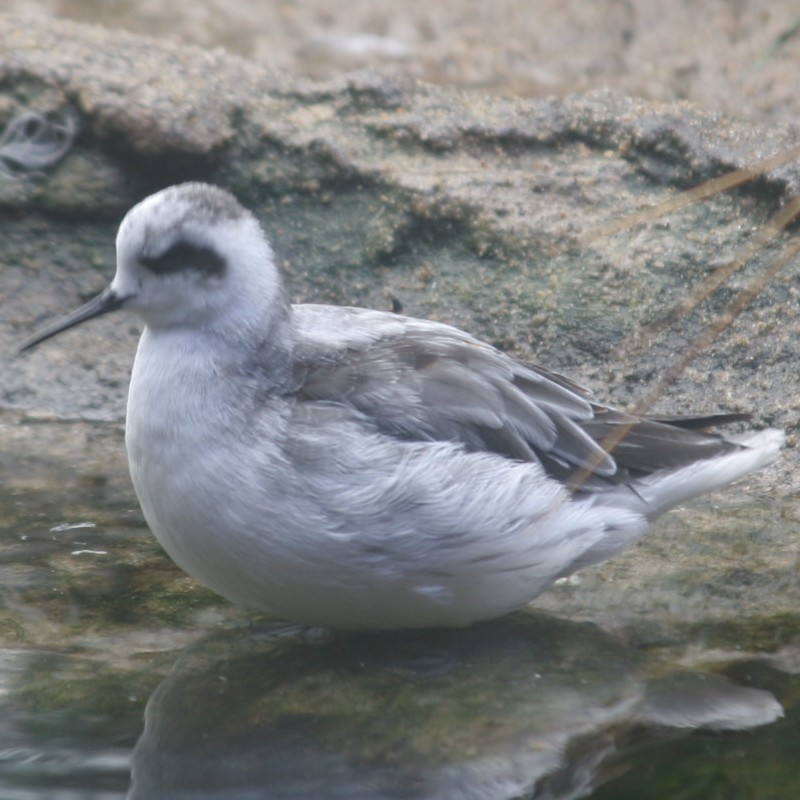 Red Phalarope
