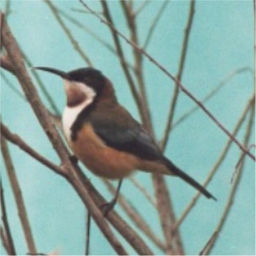 Eastern Spinebill by C. Vadai