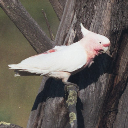 Leadbeater's Cockatoo