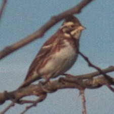 Rustic Bunting, winter male