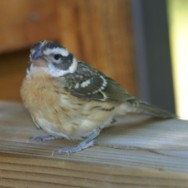 Black-headed Grosbeak (female)